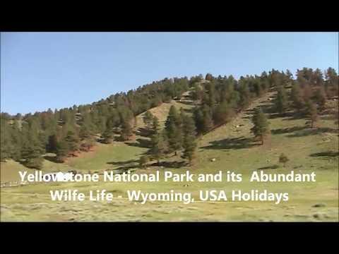 Beautiful Yellowstone National Park and its Abundant Wild Life - Wyoming, USA Holidays