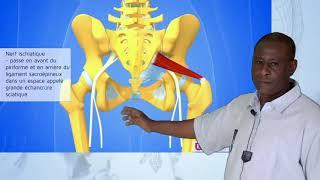 Dr BA Nerf obturateur, nerf  sciatique, nerf  pudendal, nerfs rectaux, nerfs labiaux