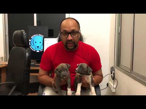 Pet Care - American Pitbull is good for first time dog owner - Bhola Shola