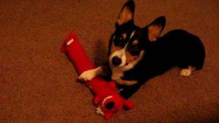 Cute Corgi Puppy Playing With Toy