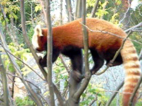 Cincinnati Zoo Red Panda Painting