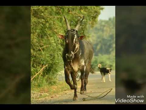Jallikattu Mudincha Mallukattu