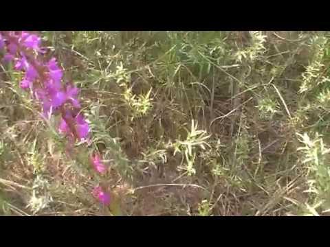 нашла редкое растение ятрышник - орхидея лесная