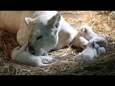 Sư tử trắng con mới sinh cực dễ thương