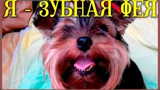 ТАЙНАЯ ЖИЗНЬ ДОМАШНИХ ЖИВОТНЫХ  ЗАГАДОЧНЫЙ ПОДАРОК ЗУБНАЯ ФЕЯ 1 серия моя собака йорк(, 2016-09-09T07:30:01.000Z)
