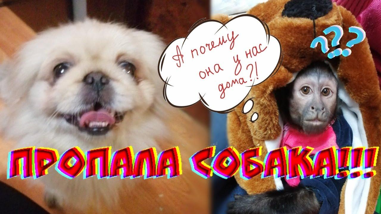 Пропала собака????.Возвращение убежавшей собачки домой! #собака #история #обезьяна