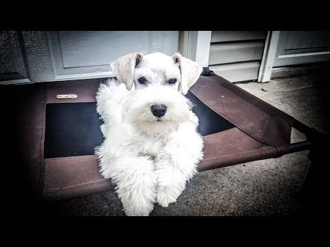 This Miniature Schnauzer Puppy is SOOO smart! Jackson in Training!