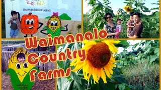 Waimanalo Pumpkin Patch 2014 -- Giant Sunflowers & Pumpkin Launcher