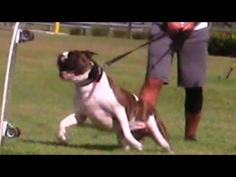 Aggressive American Bulldogs last chance before possible death sentence