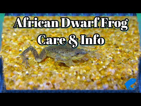 African Dwarf Frog Care and Information - Hymenochirus boettgeri - How To Keep African Dwarf Frogs
