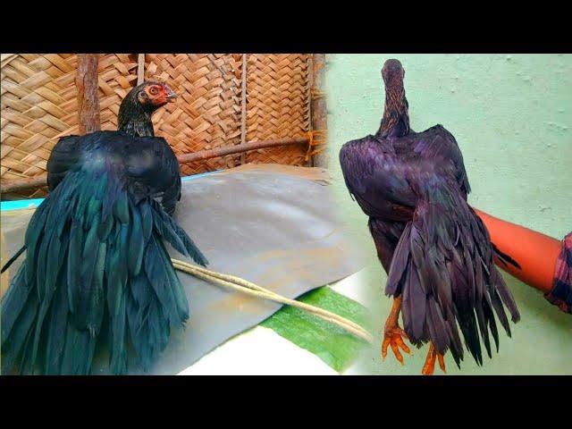 Parrot Beak Aseel Hen Collection New long Tail