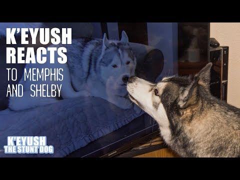husky-key-reacts-to-shelby-and-memphis-from-gttsd