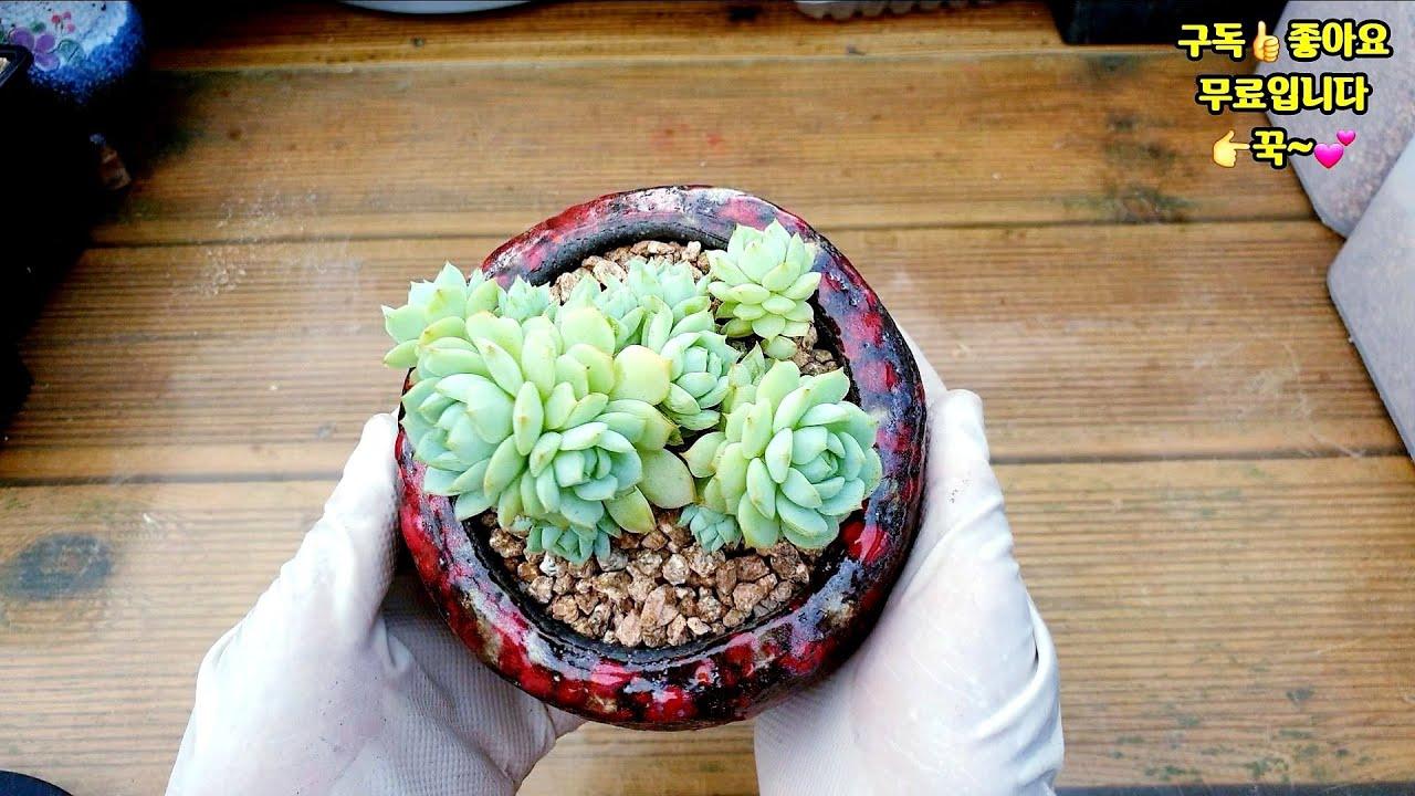 여름철 분갈이흙 배합이 중요합니다?캡틴헤이 분갈이 관리하는 방법(succulent, 多肉植物)