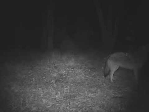 A brand new species is evolving right before our eyes — meet the 'coywolf'