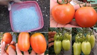Super Adubo Orgânico Para Tomates