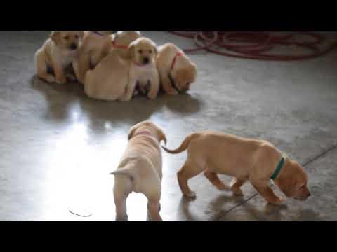 PuppyFinder.com : Golden Labrador Puppies For Sale Apple Creek, Ohio