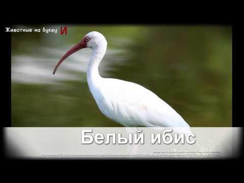 Животные на букву А (1)
