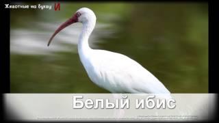 Животные на букву И (1)
