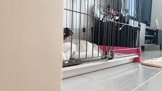 チワワのショコラ。 千利休みたい。 Chihuahua dog 【関連動画】 可愛い...