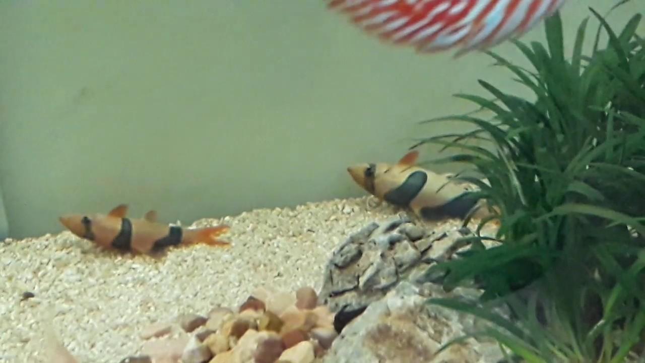 Ikan Botia Tidur Youtube