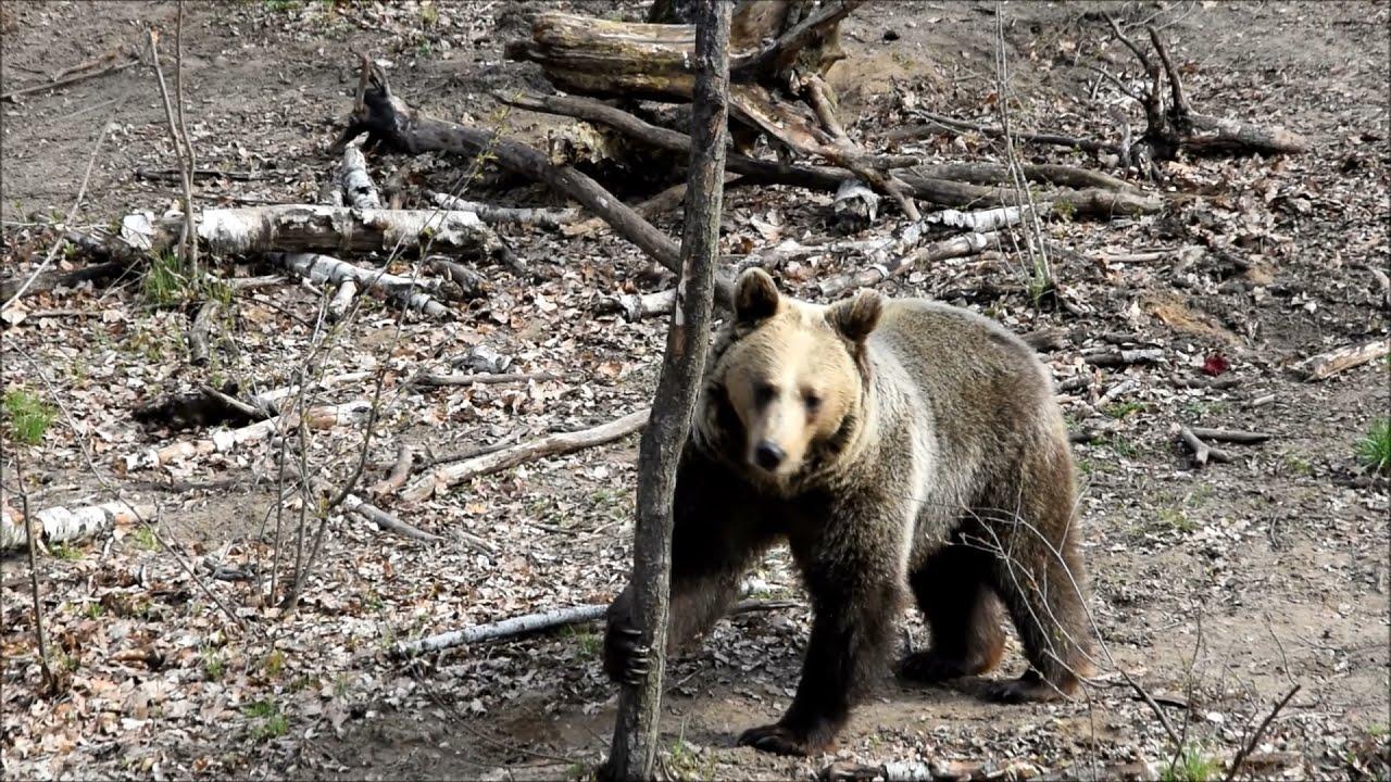 Niedźwiedź kontra wiewiórki