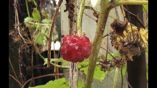 Огородная аномалия в октябре