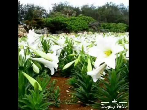 Beautiful Lily Flower Garden