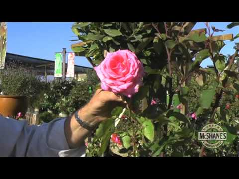 How To Care For A Rose Bush Youtube