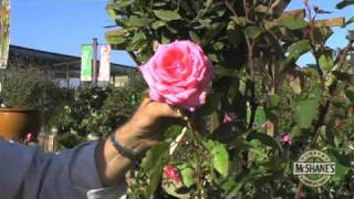 How to Care for a Rose Bush