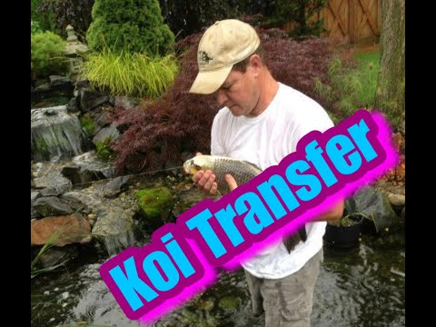 Transferring Koi Fish