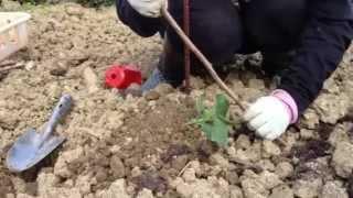 実がなる!!なる‼苗の植え方 無農薬栽培・丸八農園 thumbnail