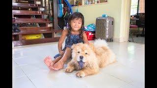 バンコクから飛行機でチャウチャウ犬やってくるの巻き 我が家のチャウチ...