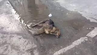 Агония отравленной собаки в Ставрополе