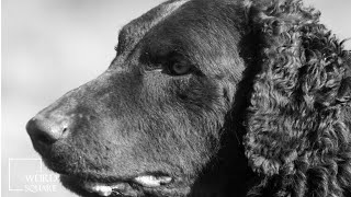 Facts about Curly Coated Retriever originally developed as a gun dog