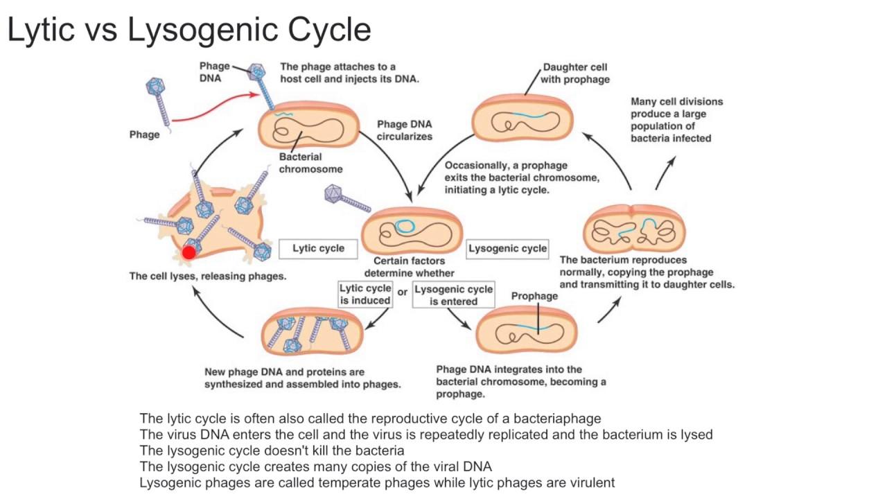 Lytic Vs Lysogenic Cycle