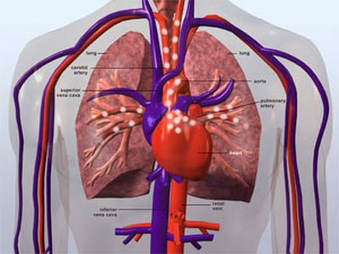 The Circulatory System GCSE Additional Biology Revision ...