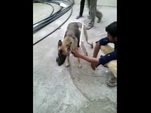 Injured Dog Wheel Chair Video 3 - Animal Helpline - Rajkot