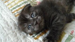 Шотландский вислоухий котенок играется.  Котенок и змейка. Scottish Fold kitten plays with a snake.