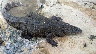 Крокодиловая ферма и шоу крокодилов в Паттайе. The crocodile farm and crocodile show in Pattaya