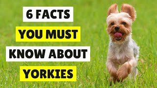 6 Amazing Things You Didn't Know About YORKSHIRE TERRIER  TIPS FOR FIRST TIME DOG OWNERS IN 2021