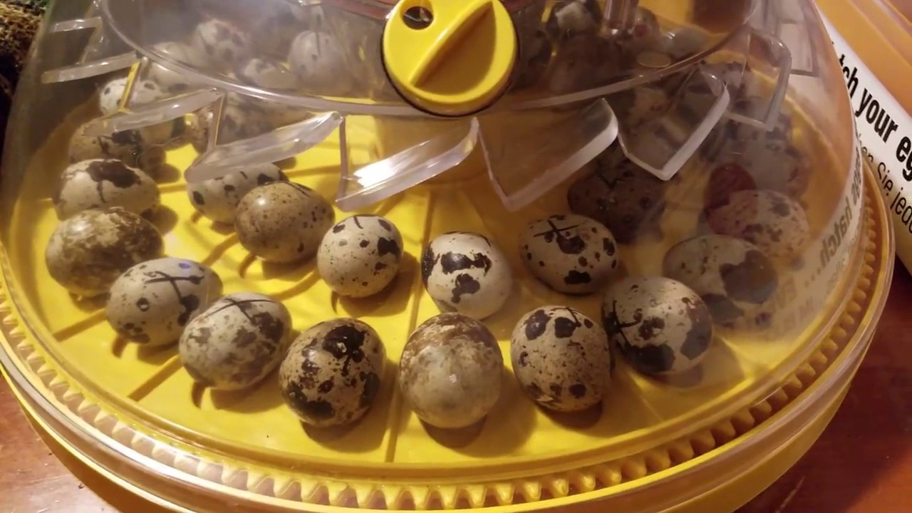 Incubation of quail eggs at home: mode and features of the process 6