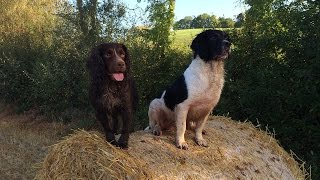Gundog Training - Simple Retrieve From Standing Barley