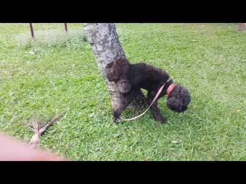 萌狗狗週記#01:在理发、修毛前陪狗狗玩+散步 陽陽-貴賓狗-狗狗剪毛造型集