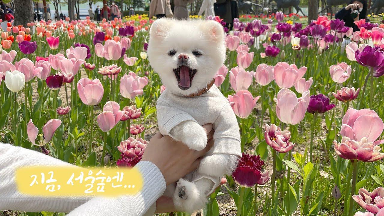 Eng) 지금 서울숲엔 튤립이 예쁘게 피었어요! #꽃개