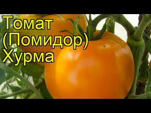 Томат обыкновенный Хурма (Hurma). Краткий обзор, описание характеристик, где купить саженцы, семена