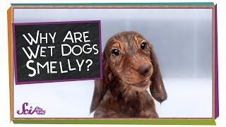 Why Are Wet Dogs Smelly?