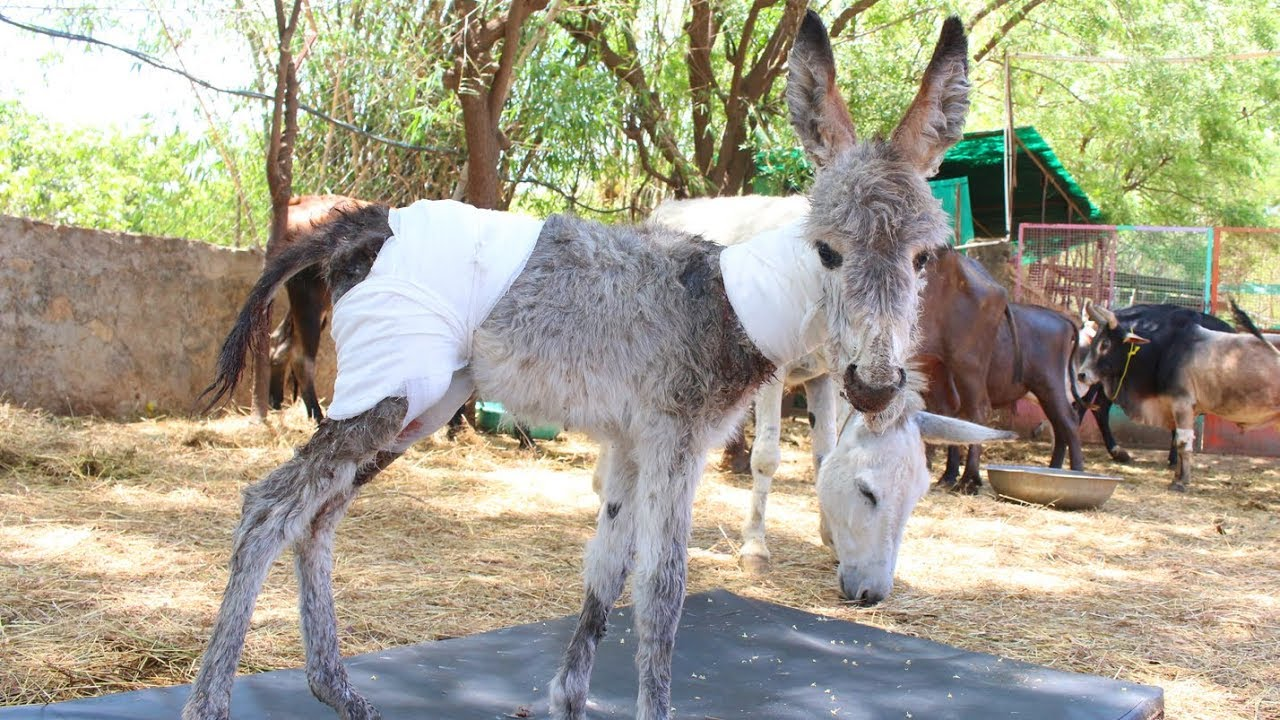 Baby donkey covered in puncture wounds rescued