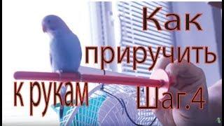 Как приручить попугая к рукам Шаг - 4 первые прогулки вне клетки.(Когда попугай уже спокойно чувствует себя при Вашем появлении возле клетки и уверенно ест сидя у Вас на..., 2013-04-14T09:12:53.000Z)
