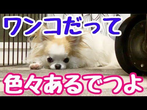 💖【人生いろいろ】たまに一人で物思いにふける子犬チワワのティーナ【かわいい犬】【chihuahua】【cute dog】【ペット動画】