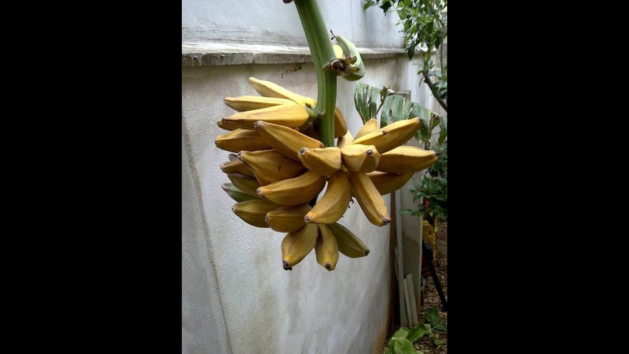 Musa fiorita albero del banano nel mio giardino monopoli for Albero di banane